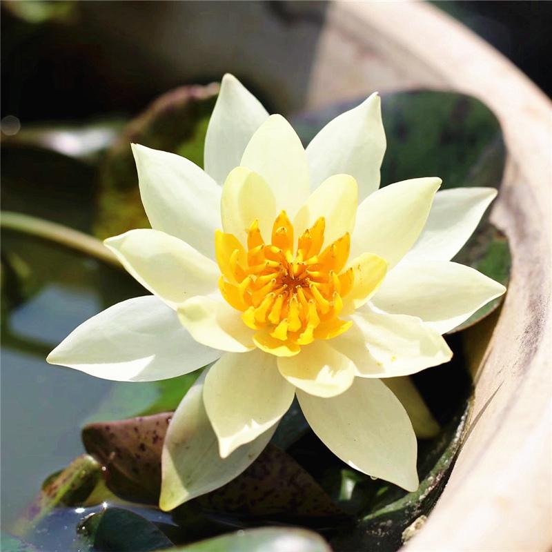 40Pcs  LOTUS FLOWER SEEDS AQUATIC PLANTS Lotus Water Lily Seeds New H7V6