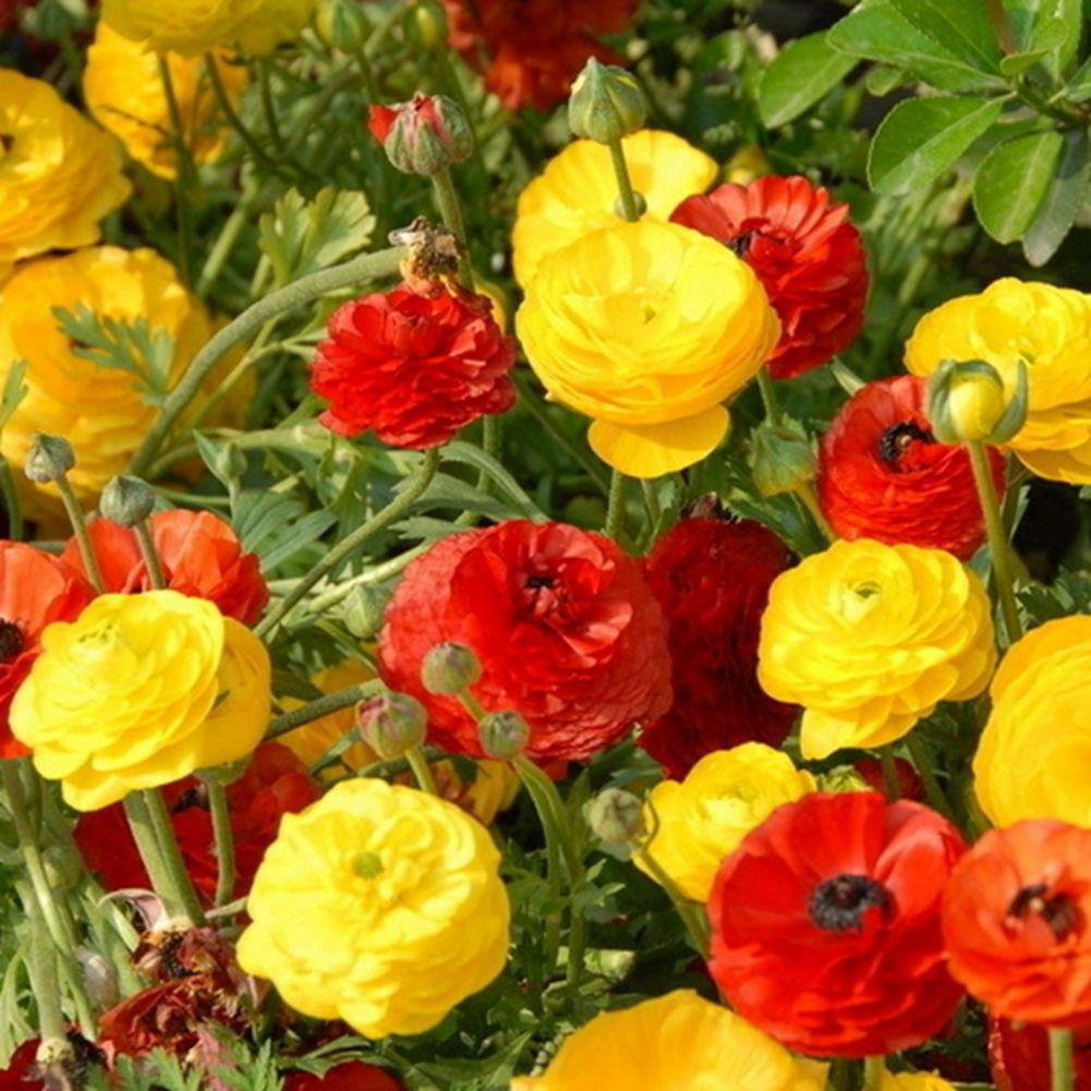 20pcs Ranunculus Persian Buttercup Flower Seeds Perennial Exquisite