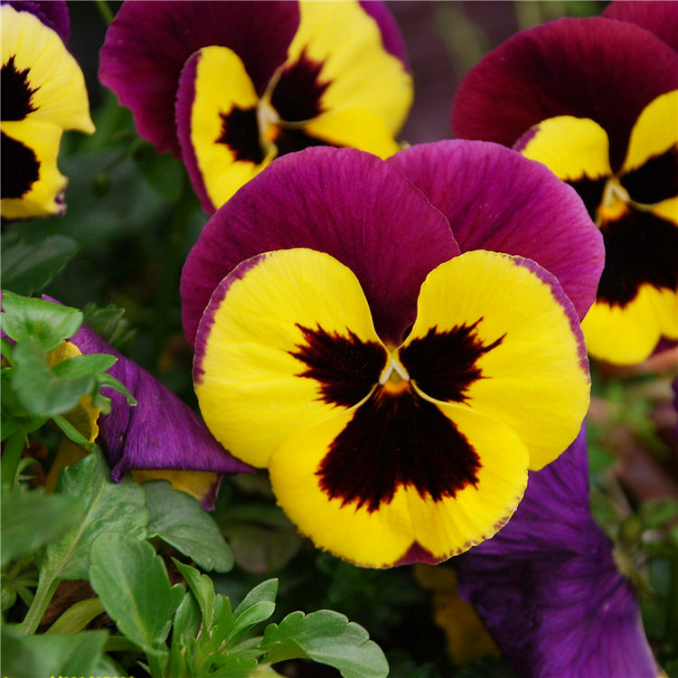 50 pansy flower seeds clear crystals viola wittrockiana bloom exotic chinese name big flower pansy mightylinksfo