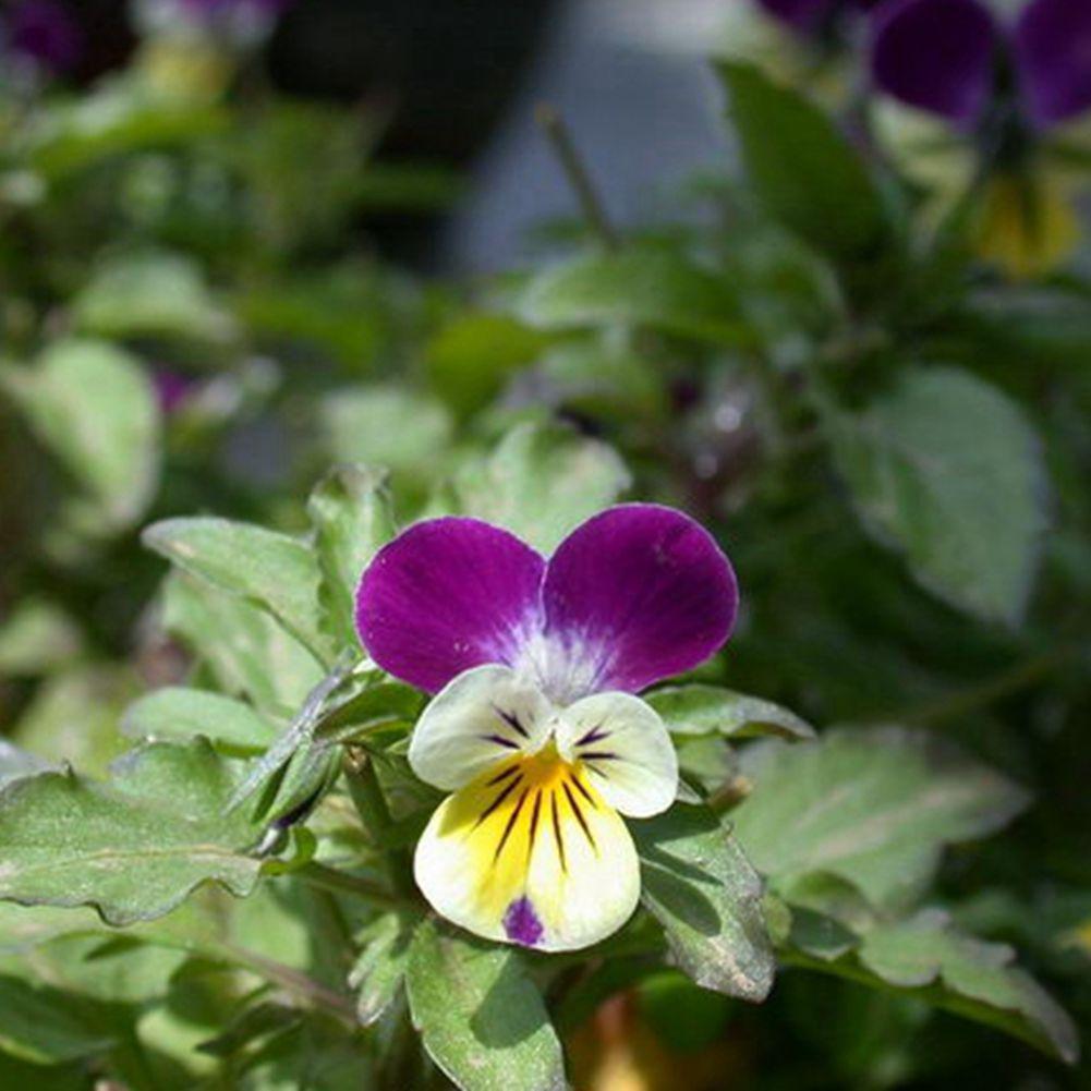 30 Seeds Small Flower Pansy Bonsai Flower Seeds A169 Ebay