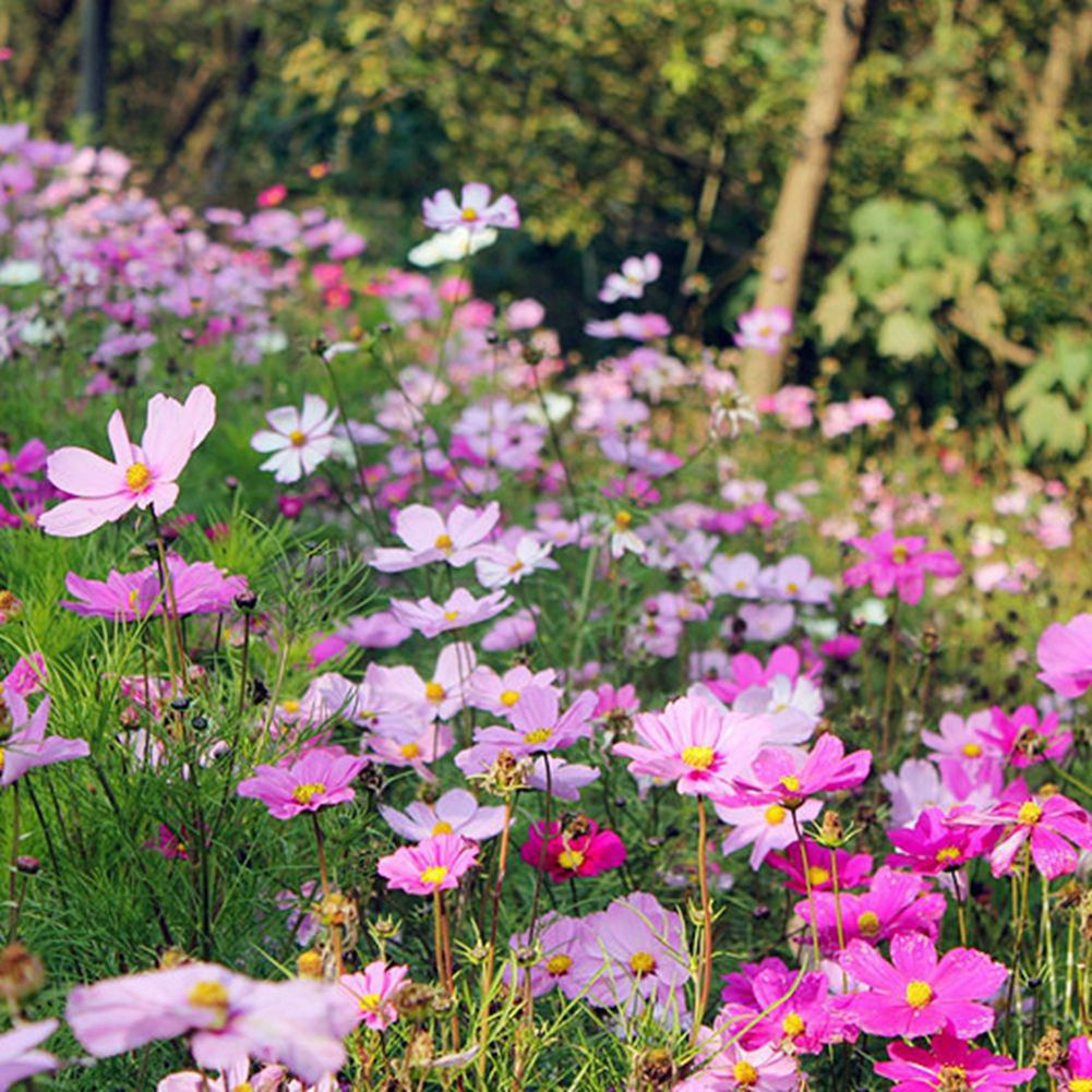 50 mix color garden cosmos seeds perfects for cut flower a082 ebay cosmos alias big cosmos gesang flower annual or perennial herb 1 2 meters high root spindle shaped multi stem root or adventitious roots at the base izmirmasajfo