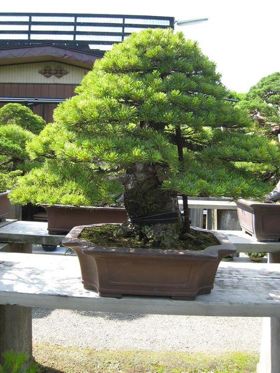 Ornamental Pot 20 Cypress seeds garde bonsai tree Purifying air
