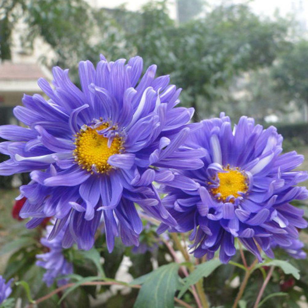 50pcs Blue China Aster Flower Seeds Biennial Herb Large Doubl Flower