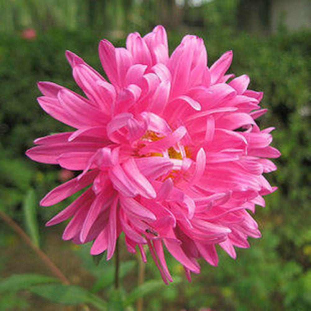 Rich Variety Garden 50 Pink China Aster Flower Seeds Beautiful Cut