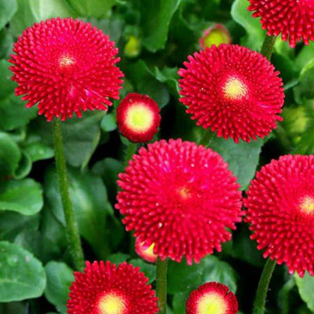 50 daisy seeds bellis perennis home flower ornamental beautiful english daisy bellis perennis double mix seeds are compact and 6 8 inch tall when fully matured and they can produce 2 inch double flowers with yellow izmirmasajfo