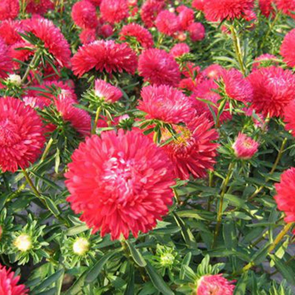 Rich variety garden 50 pink china aster flower seeds beautiful cut rich variety garden 50 pink china aster flower seeds beautiful cut flower a203 mightylinksfo