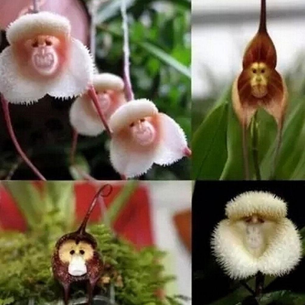 RARE Jardin Singe Visage Orchidées Plantes Bonsai 100 Pcs Graines LIVRAISON GRATUITE 2019 n