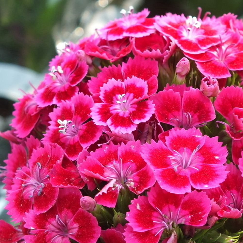 Perennial 30 pcs dianthus seedssweet william flower easy to grow dianthus chinensis l also known as chrysanthemum embroidered bamboo evergreen japanese grass forage grass pen shaped flowers perennial herbs mightylinksfo
